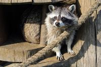 The raccoon looks out from his wooden tree house.