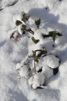 Helleborus niger blooming