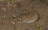 Field mouse 'Microtus arvalis'