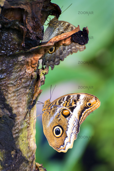 butterfly caligo eurilochus