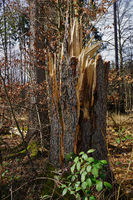 Storm damage in the spruce forest