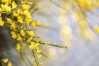 Blühender Ginster (Genista) im Garten, Nahaufnahme