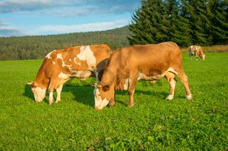 Kühe auf offener Weide - artgerechte Tierhaltung