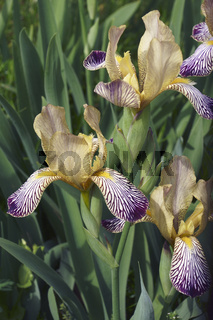 Close-up image of Variegated Sweet iris flowers