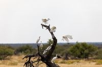 cattle egret namibia Africa safari wildlife