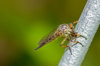 Macro of a robber fly