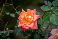 Big rose on blurred background with its own green leaves, showing a gradient tones from orange to fucsia