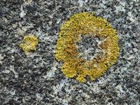 Close-up of  round lichen on a stone