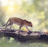 Leopard walking in the woods