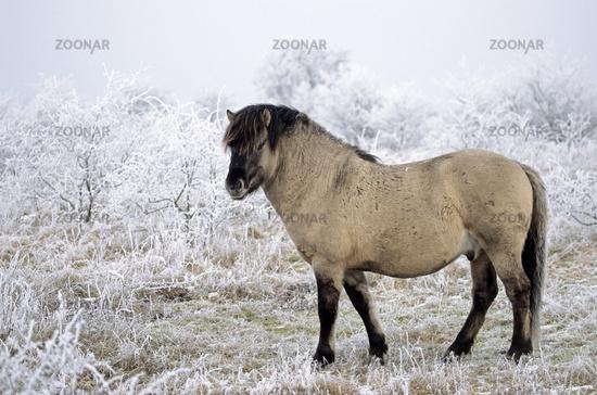 Heck Horse stallion standing alert in hoar frost