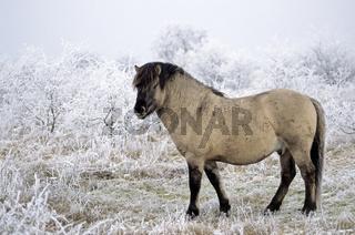 Konik - Hengst steht aufmerksam in einer Raureiflandschaft - (Waldtarpan-Rueckzuechtung) / Heck Horse stallion standing alert in a hoar frost scenery - (Tarpan-breeding back) / Equus ferus caballus - Equus ferus ferus