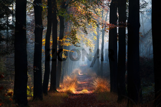 path in misty autumn beech forest