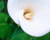 White calla lily macro shot