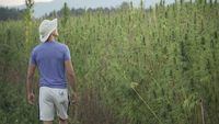 wide video of a professional young male researcher working in a hemp field, checking plants going through them by hand