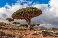 Dragon trees on Socotra Island, Yemen