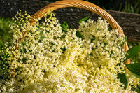 Close-up of a basket of freshly harvested elderberry blossoms standing on an old park bench in the garden