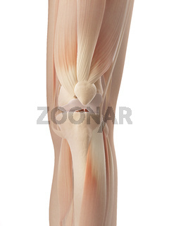 knee joint muscles