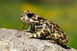 Still european green toad with red spots in mating season from side view