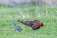 Typical courtship ritual of the Common Pheasant