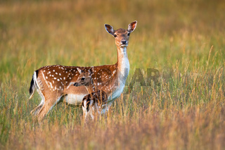 Protective fallow deer watching around and guarding little cute fawn in nature