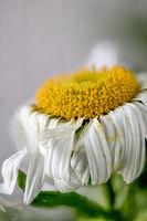 Welking Leucanthemum hybrid, flowerhead, closeup