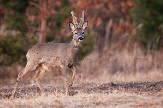 Roe deer buck with antlers covered in velvet walking on meadow
