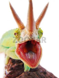 Three horned chameleon/trioceros jacksonii