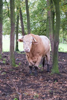 Huge bull cow grazing on a farmfield between the trees