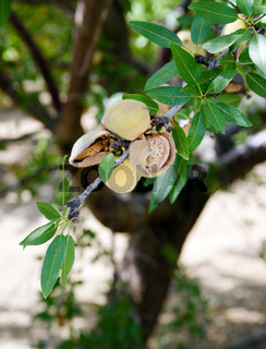 Almond Nuts Tree Farm Agriculture Food Production Orchard California
