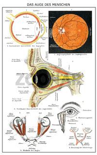 Historic anatomical illustration, 19th century, human Eye,