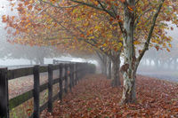 Rows of trees on foggy autumn morning in rural countryside
