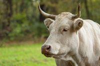 Jersey cow portrait
