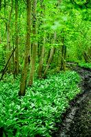 original green forest with wild garlic in spring i