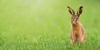 Brown hare sitting on a meadow with green grass in spring with copy space.