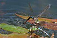 Königslibellen bei der Paarung und Eiablage