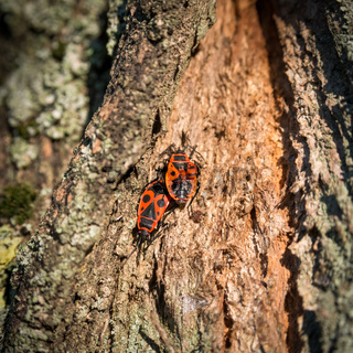Two beetles on a tree
