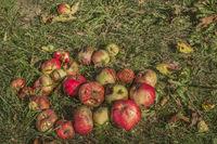Apples as fallen fruit