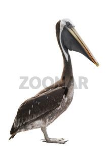 Pelican isolated