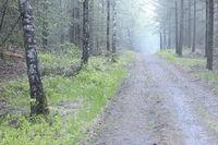path in birch forest in fog