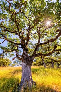 Oak Tree in the Sunlight. Northern California, USA