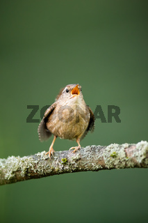 Adult eurasian wren singing in branch in springtime nature.