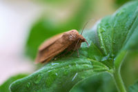 Owlet moth (noctua comes) on the leaf of a geranium after a rain
