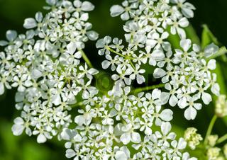 Weiße Doldenblüte eines Wiesen-Kerbel