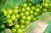 Panicle with grapes from a white grape just before harvesting