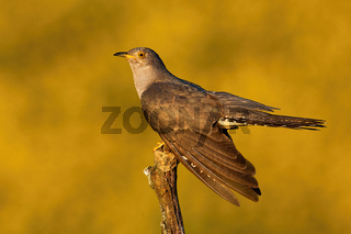Male common cuckoo displaying and holding wings low at sunset in summer