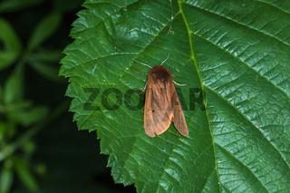 Zimtbär (Phragmatobia fuliginosa)