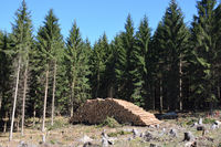 Cut spruce trunks in Saxony
