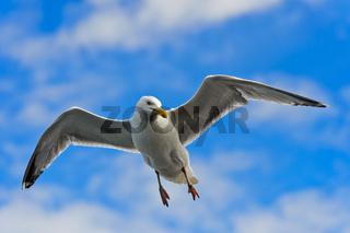 Silbermöwe (Larus argentatus) im Flug über der Nordsee / European herring gull (Larus argentatus) flying over the North Sea