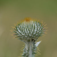 Close-up of the bud of a thistle