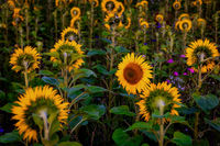 Sunflowers in a Field in Golden Sunlight